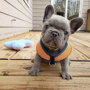 cheap french bulldog puppies under $500