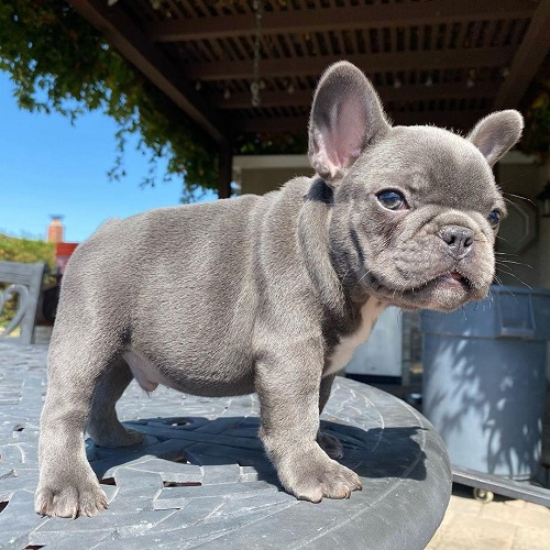 blue french bulldog puppies for sale cheap