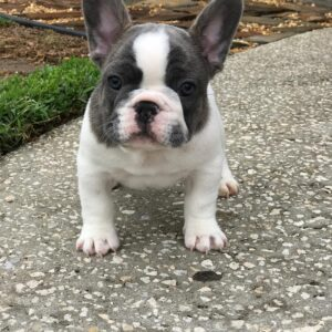 french bulldog puppies ohio