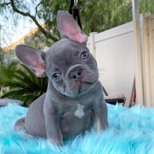 french bulldog puppies for sale ny