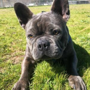2 year old french bulldog for sale