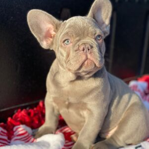 french bulldog puppies for sale under 1000
