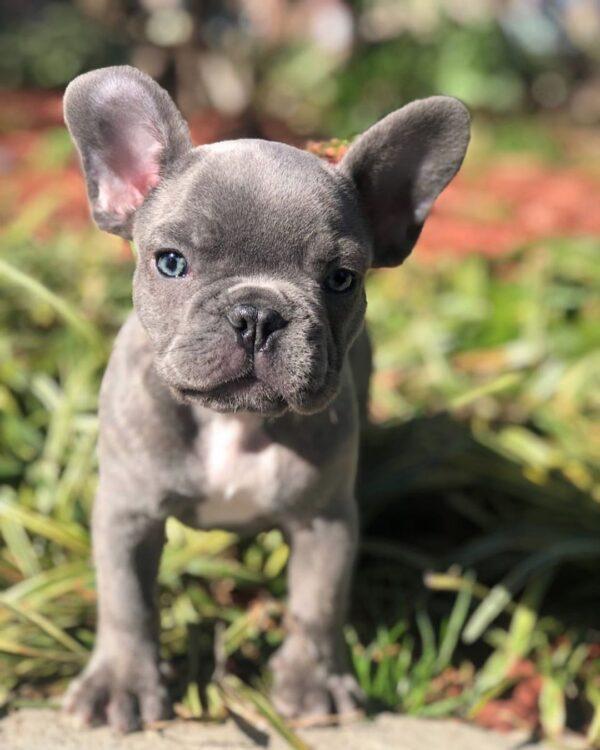 micro french bulldog
