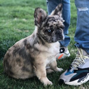 exotic french bulldog for sale