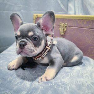 grey french bulldog for sale