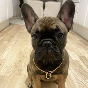 frenchie pugs for sale