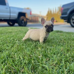 blue frenchie for sale