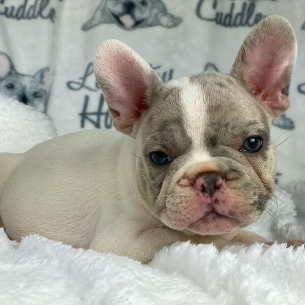 pocket french bulldog for sale