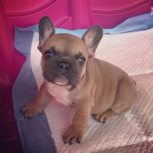 micro french bulldog puppies for sale