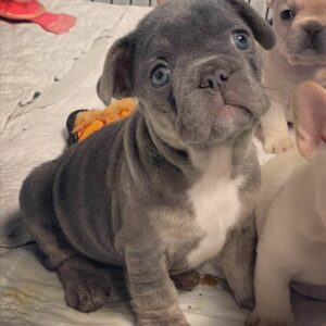 mini french bulldog for sale