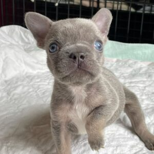 furry french bulldog for sale