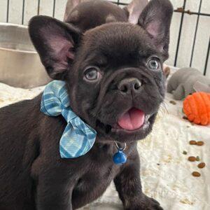 blue fluffy french bulldog