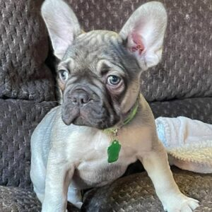 what is a fluffy frenchie