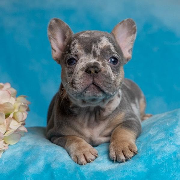 mini french bulldog sale