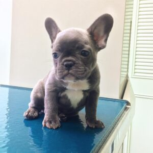 fawn french bulldog for sale