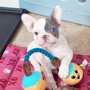 blue frenchie puppy