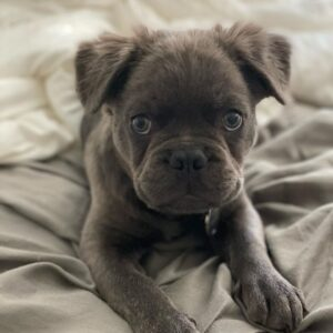 fluffy frenchie puppies for sale