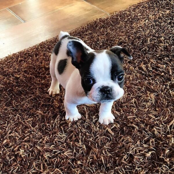 frenchton puppies for sale/frenchton puppies near me